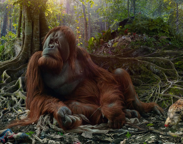 simen-johan-orangutang